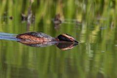 Κερασφόρο grebe που επιτίθεται σε άλλα πουλιά στοκ εικόνα με δικαίωμα ελεύθερης χρήσης