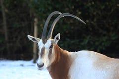 κερασφόρο oryx scimitar Στοκ Φωτογραφίες