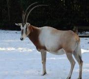 κερασφόρο oryx scimitar Στοκ εικόνα με δικαίωμα ελεύθερης χρήσης