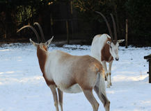 κερασφόρο oryx scimitar Στοκ Φωτογραφία