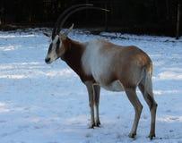 κερασφόρο oryx scimitar Στοκ φωτογραφίες με δικαίωμα ελεύθερης χρήσης