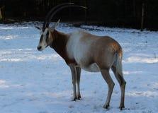 κερασφόρο oryx scimitar Στοκ Εικόνα
