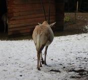 κερασφόρο oryx scimitar Στοκ φωτογραφία με δικαίωμα ελεύθερης χρήσης
