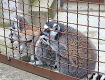 Κερκοπίθηκοι στο ζωολογικό κήπο Στοκ Φωτογραφίες