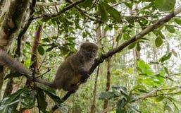 Κερκοπίθηκοι στο πάρκο Μαδαγασκάρη Andasibe Στοκ Φωτογραφίες