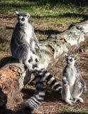 Κερκοπίθηκοι στο πάρκο Lignano Sabbiadoro Ιταλία ζωολογικών κήπων αιχμαλωσίας Στοκ Εικόνες