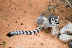 Κερκοπίθηκοι της Μαδαγασκάρης Στοκ Φωτογραφία