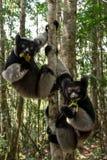 Κερκοπίθηκοι της Indri στο τροπικό δάσος, Μαδαγασκάρη Στοκ φωτογραφία με δικαίωμα ελεύθερης χρήσης