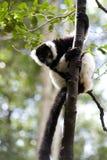 κερκοπίθηκος Μαδαγασ&kapp στοκ εικόνα