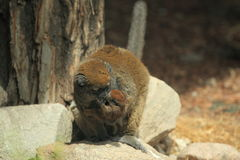 Κερκοπίθηκος μπαμπού Alaotra λάκκας Στοκ φωτογραφίες με δικαίωμα ελεύθερης χρήσης