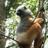 Κερκοπίθηκος - νησί Μαδαγασκάρη κερκοπιθήκων Στοκ φωτογραφία με δικαίωμα ελεύθερης χρήσης