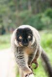 Κερκοπίθηκος - νησί Μαδαγασκάρη κερκοπιθήκων Στοκ Εικόνες