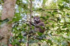 Κερκοπίθηκος στο πάρκο Μαδαγασκάρη Ankarana Στοκ φωτογραφίες με δικαίωμα ελεύθερης χρήσης