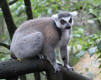 Κερκοπίθηκος της Μαδαγασκάρης στη φύση Στοκ Φωτογραφία