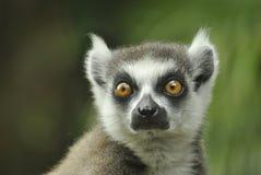 Κερκοπίθηκος της Μαδαγασκάρης Στοκ Φωτογραφία