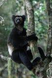 Κερκοπίθηκος της Indri στη Μαδαγασκάρη Στοκ Εικόνα