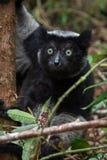 Κερκοπίθηκος της Indri στη Μαδαγασκάρη Στοκ εικόνα με δικαίωμα ελεύθερης χρήσης