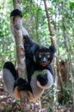 Κερκοπίθηκος της Indri στη Μαδαγασκάρη Στοκ Εικόνες