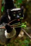 Κερκοπίθηκος της Indri στη Μαδαγασκάρη Στοκ φωτογραφία με δικαίωμα ελεύθερης χρήσης