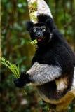 Κερκοπίθηκος της Indri στο τροπικό δάσος της Μαδαγασκάρης Στοκ Εικόνα