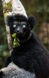 Κερκοπίθηκος της Indri στο τροπικό δάσος της Μαδαγασκάρης Στοκ εικόνα με δικαίωμα ελεύθερης χρήσης