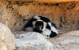 Κερκοπίθηκος Στοκ Φωτογραφίες
