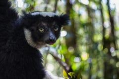 Κερκοπίθηκος Στοκ φωτογραφίες με δικαίωμα ελεύθερης χρήσης