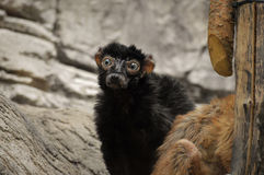 Κερκοπίθηκος Στοκ εικόνα με δικαίωμα ελεύθερης χρήσης