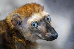 Κερκοπίθηκος Στοκ Φωτογραφία