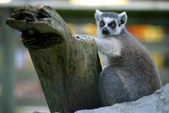 Κερκοπίθηκος Στοκ Εικόνες