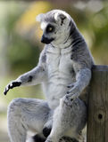 κερκοπίθηκος catta Στοκ Φωτογραφία