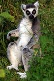 κερκοπίθηκος catta Στοκ Εικόνες