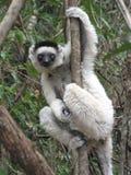 Κερκοπίθηκος Madacascar Στοκ Φωτογραφίες