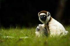 Κερκοπίθηκος Sifaka Verreaux στη Μαδαγασκάρη Στοκ εικόνες με δικαίωμα ελεύθερης χρήσης
