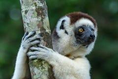 Κερκοπίθηκος Sifaka Verreaux στη Μαδαγασκάρη Στοκ φωτογραφία με δικαίωμα ελεύθερης χρήσης