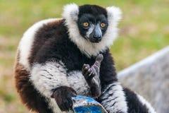 Κερκοπίθηκος Vari Στοκ Εικόνες