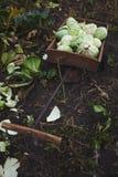 Κεφάλια περικοπών του οργανικού λάχανου σε ένα κάρρο χεριών κήπων, κάθετα Φυσική καλλιέργεια στοκ εικόνα