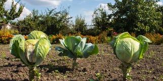 Κεφάλια ώριμα λάχανων στον κήπο Στοκ Φωτογραφίες