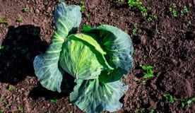 Κεφάλια ώριμα λάχανων στον κήπο Στοκ Φωτογραφία