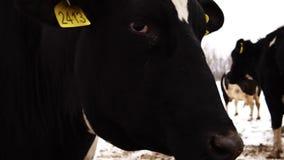 Κεφάλι αγελάδων με τον αριθμό στην κινηματογράφηση σε πρώτο πλάνο αυτιών φιλμ μικρού μήκους
