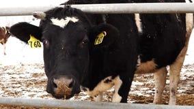 Κεφάλι αγελάδων με τον αριθμό στην ώθηση αυτιών μέσω του φράκτη φιλμ μικρού μήκους