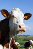 κεφάλι αγελάδων χωρών Στοκ Εικόνες