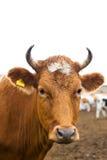 κεφάλι αγελάδων Στοκ Εικόνα