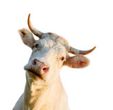 κεφάλι αγελάδων Στοκ Εικόνες