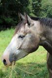 Κεφάλι αλόγου Στοκ Φωτογραφίες