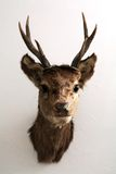 κεφάλι ελαφιών που επικ&om Στοκ φωτογραφία με δικαίωμα ελεύθερης χρήσης