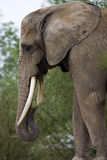 κεφάλι ελεφάντων Στοκ εικόνες με δικαίωμα ελεύθερης χρήσης