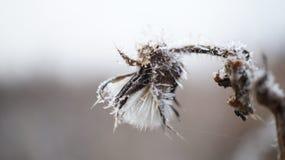 Κεφάλι κάρδων που καλύπτεται στον παγετό στοκ φωτογραφίες