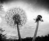 Κεφάλι και σπόροι πικραλίδων στοκ φωτογραφία