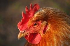 κεφάλι κινηματογραφήσεων σε πρώτο πλάνο κοτόπουλου Στοκ Εικόνες
